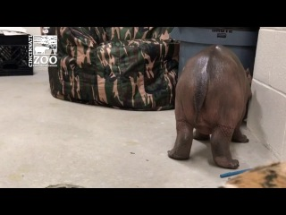 Baby hippo Fiona takes her first steps at Cincinnati Zoo