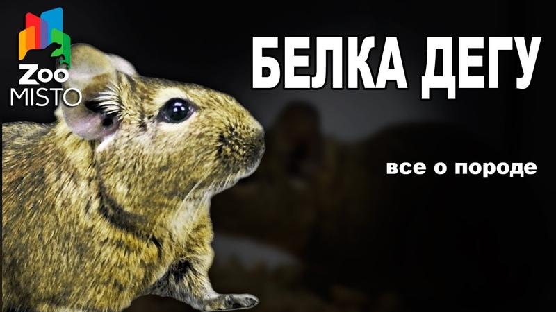 Белка Дегу - Все о виде грызуна   Вид грызуна - Белка Дегу