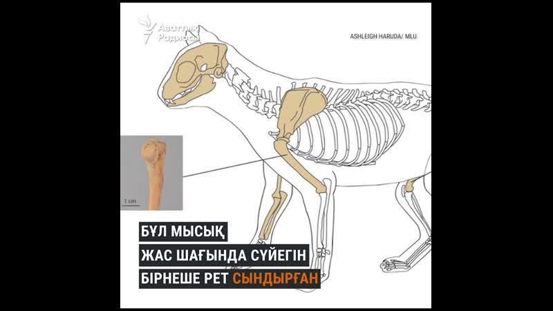 Қазақ даласындағы мысықтың мыңжылдық тарихы