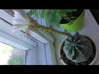 Белый цветок кактуса, кактус на подоконнике
