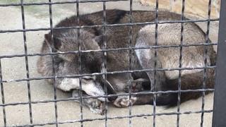 Прекрасная черная волчица Ева! Тайган Lovely black she-wolf Eva! Taigan