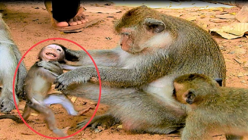 OMG! why mother weaning baby monkey that so small Poor baby monkey that mommy do that to her.