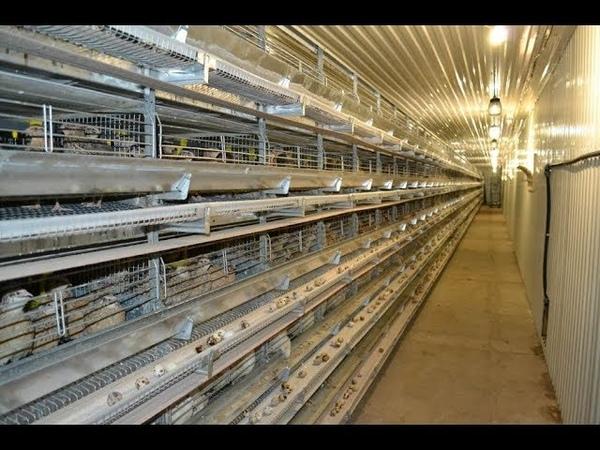 БОЛЬШАЯ ПЕРЕПЕЛИНАЯ ФЕРМА Big quail farm