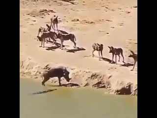 do you choose being ripped to pieces by wild dogs or drowning by croc