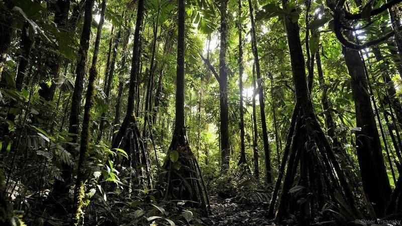 ЭНТЫ в реальной жизни или ходячие пальмы джунглей Амазонки